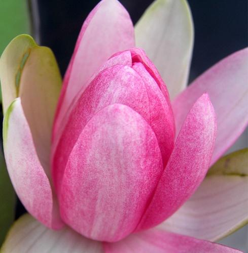 softly pink by helenam