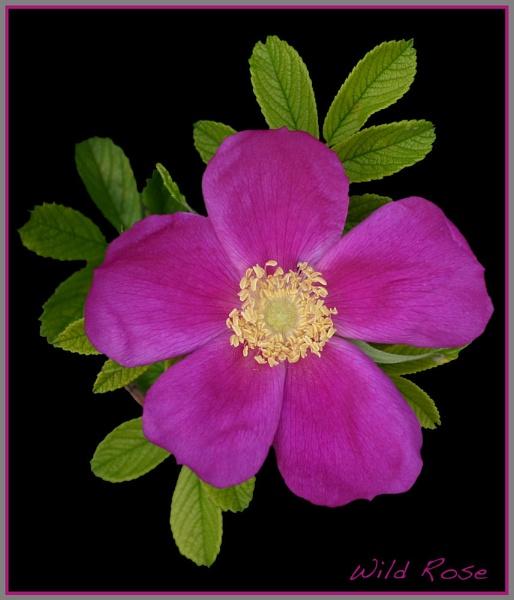 Wild Rose by mickf1