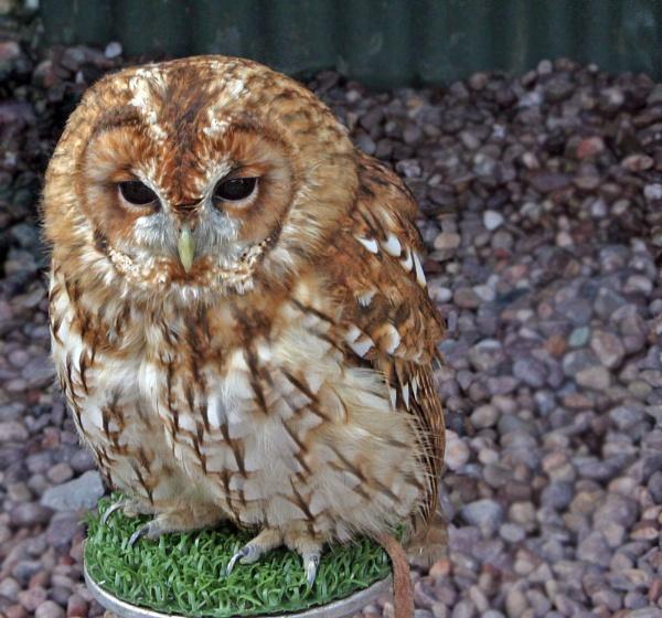 Owl by Pogs