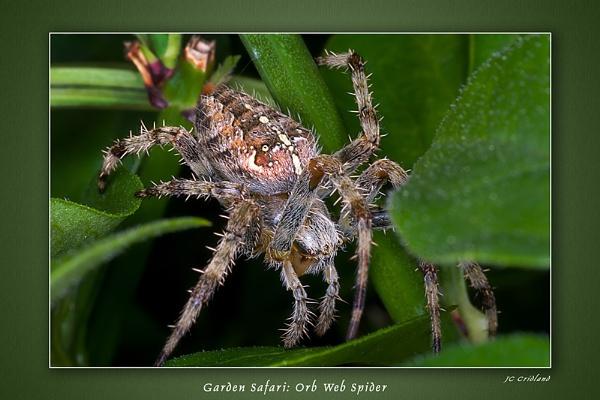 Garden Safari - Orb-web Spider by JeremyCC