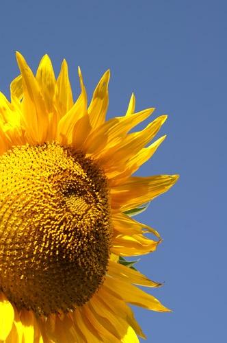 Sunflower by tenter