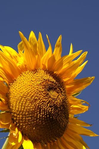 Sunflower 006 by tenter