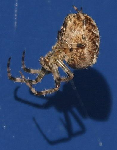 Spider by neleliza