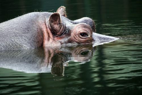 Hippo by danob