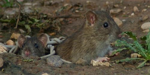 Rats by mydumpstinks