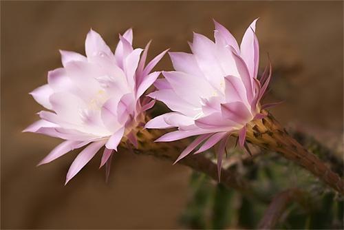 Cactus Flowers by John-LS