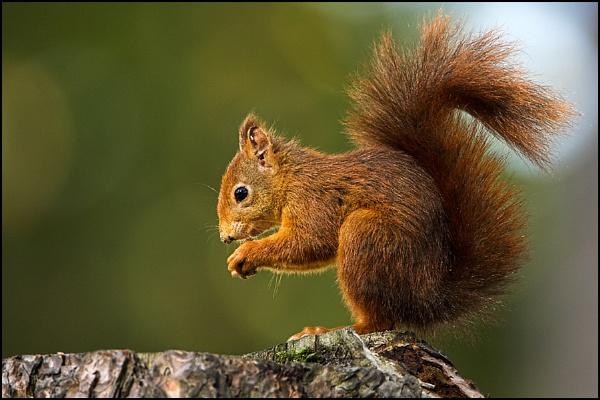 Red Squirrel by zippie