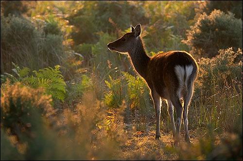 Sika deer. by justin c