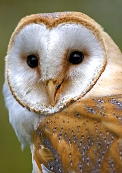Barn Owl Tytus Alba by dave knowles