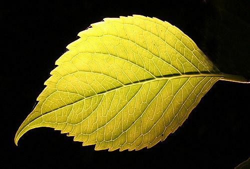 Repost - Backlit Leaf by biggus
