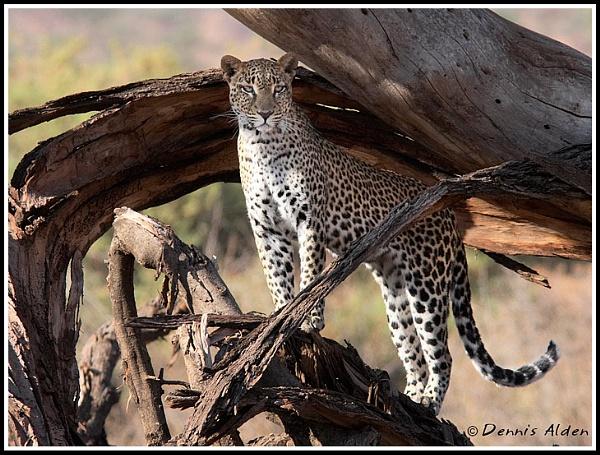 Leopard by Dennis.Alden