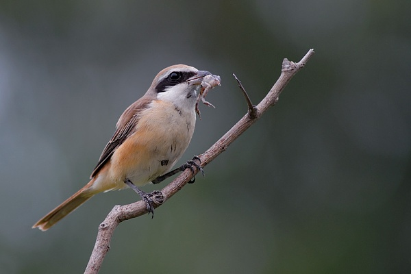 Brown Shrike by suleesia