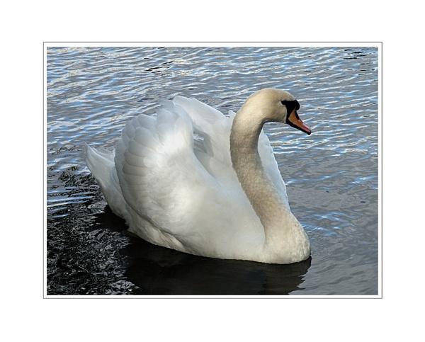 Swan by Dennie