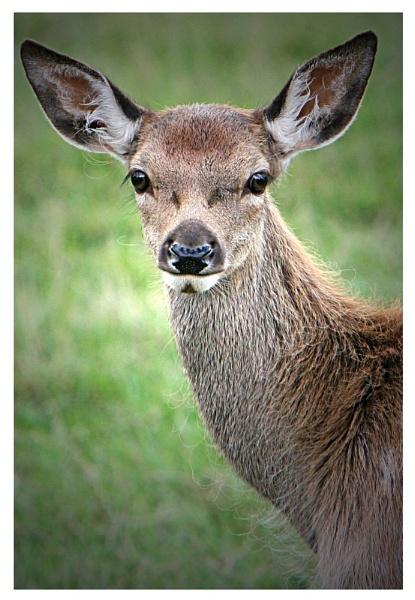 Red Deer Calf by alexkerr