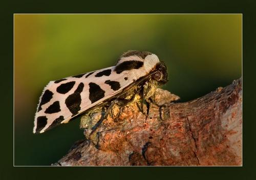 Moth by Ruggieru