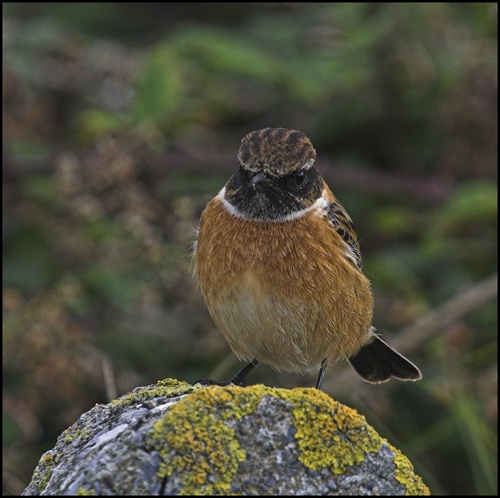 Stonechat (m) by Kerrygold