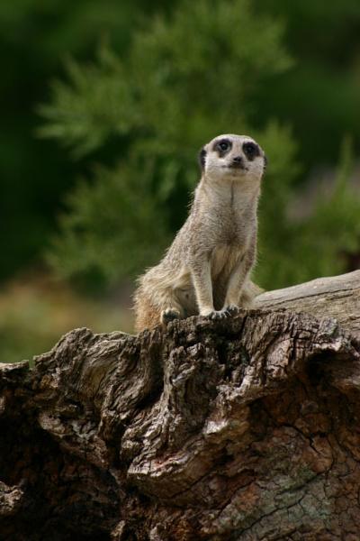 Meerkat by tags66