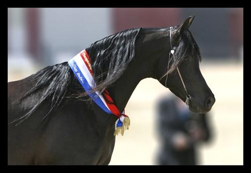 Black Stallion by kelmac