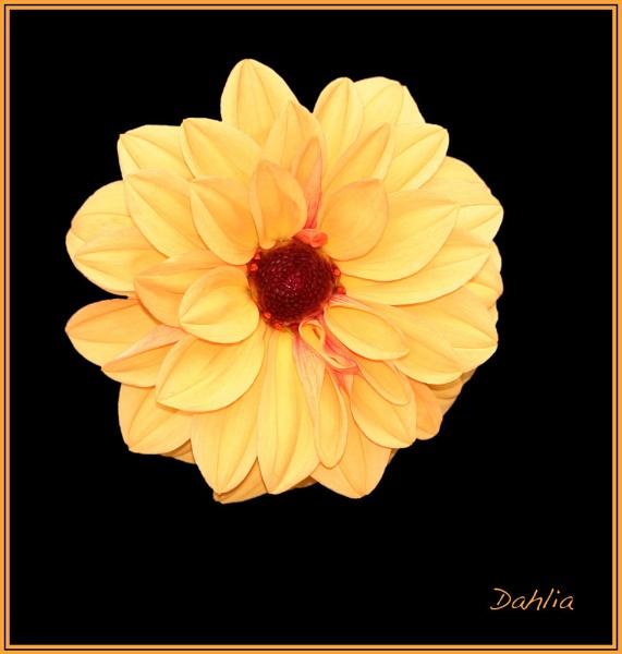 Yellow Dahlia by mickf1