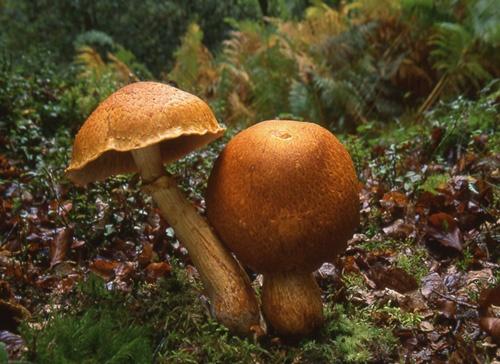 Gymnopilus junonius / spectabilis by PhilG_DPAGB