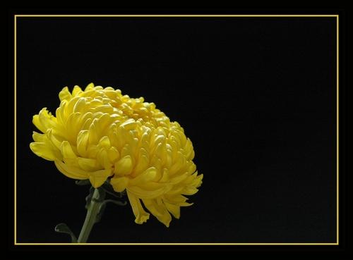 Chrysanthumum by Rachy1821
