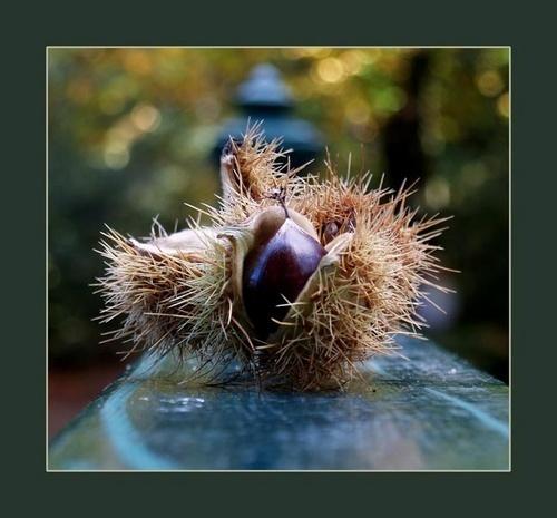 Chestnut by deejceej