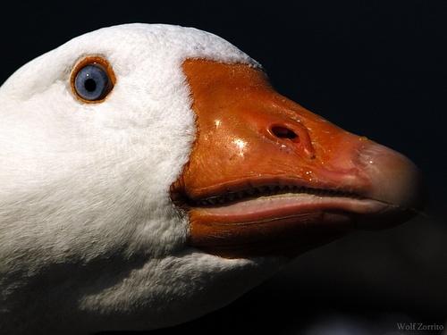 Goose talk by Zorrito