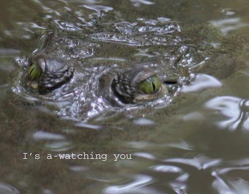 Alligator by agednovice