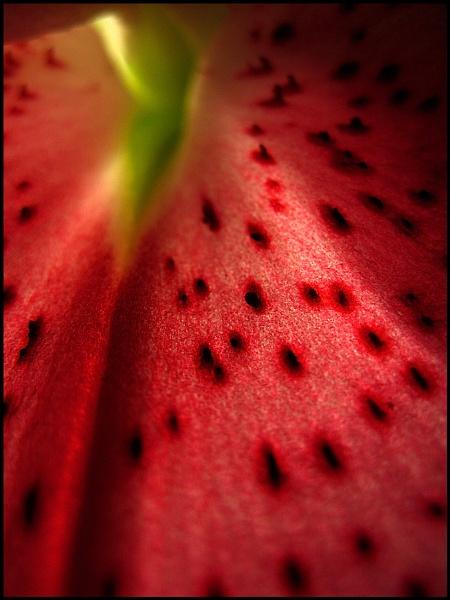 Lilly Leaf by ardbeg77