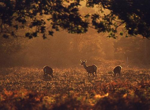 Three Red Deer Hinds by kevan