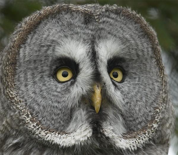 Great Grey Owl by ReidFJR