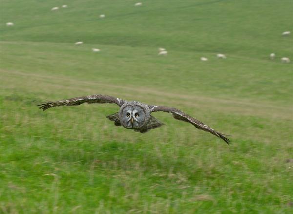 Great Grey In Flight by ReidFJR