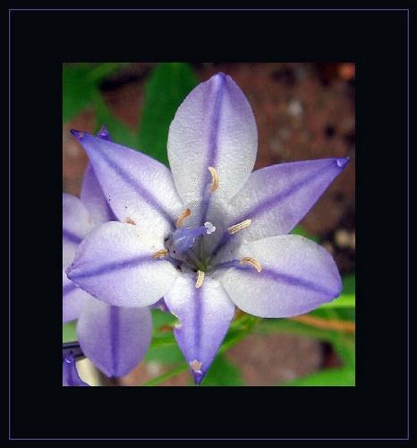 Lilac Flower by telfordtrio