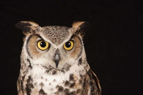 Owl by tig124