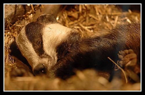 Mr Badger by Martin54