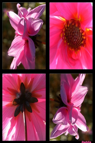 Dahlias 2 by vonny