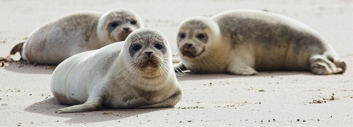 Seal Pups by JohnRShort