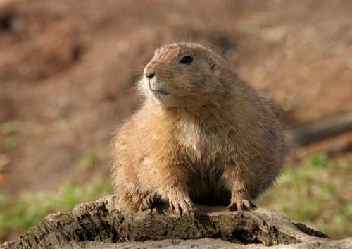 Prairie Marmot by Randle