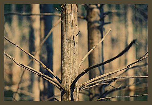 Cuejdel. Dead Fir Tree by ovidiusoleriu