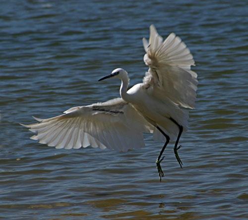 egret landing-2 by john thompson