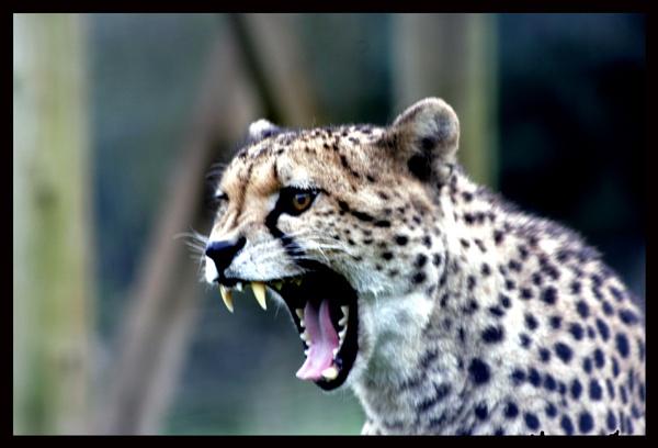 Yawning Cheetah by Naturesview