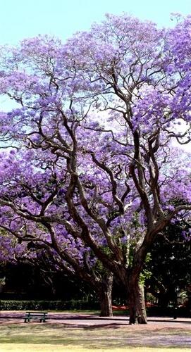 Jacaranda tree by delan
