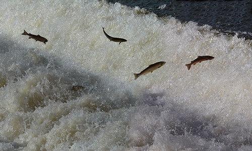 Salmon Run by flyking3