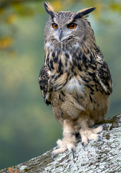 Eagle Owl by ReidFJR