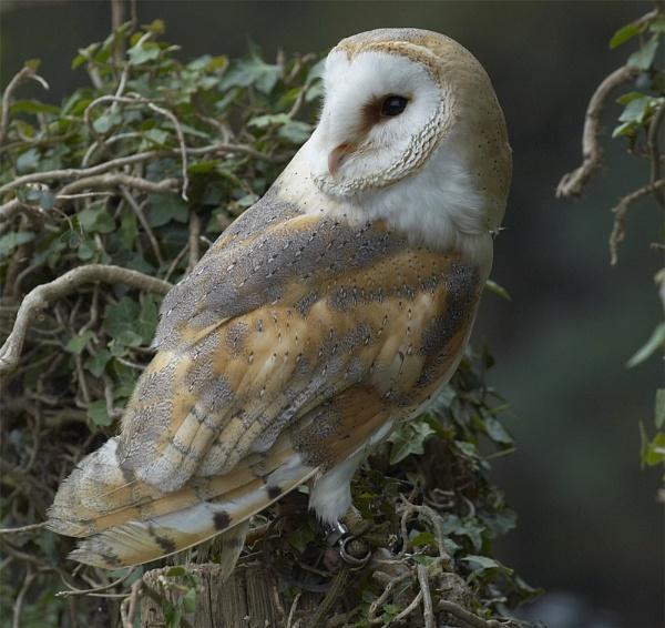 Barn Owl Study by ReidFJR