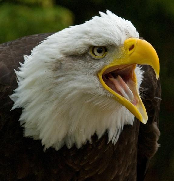 Bald Eagle - Hawk Conservancy by ReidFJR