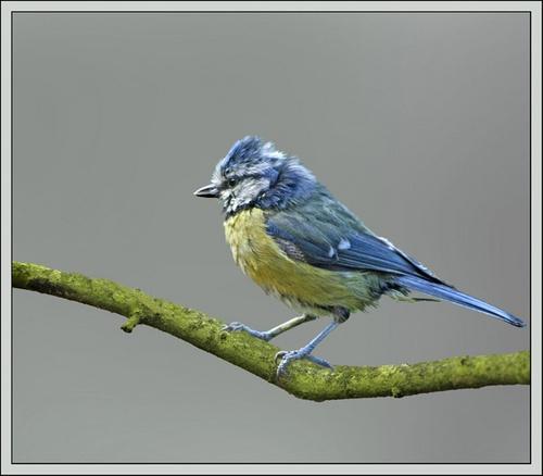 Blue Peter by Hawkgenes