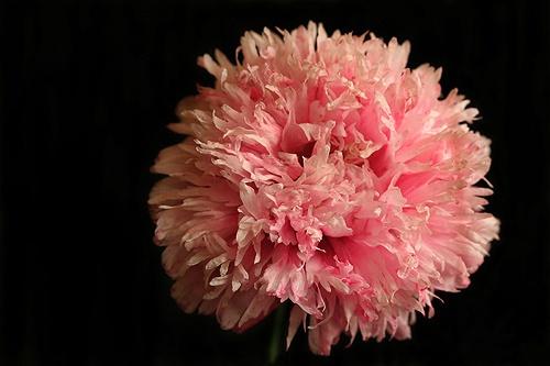 last poppy of summer by BarrieC