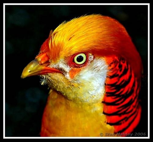 Golden Pheasant by alpha788
