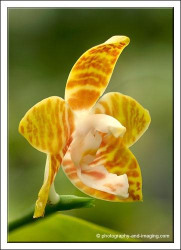 Phalaenopsis Amboinensis by Gorro